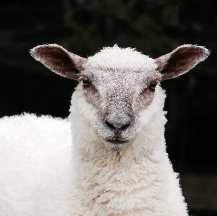 characteristics fleece vs wool